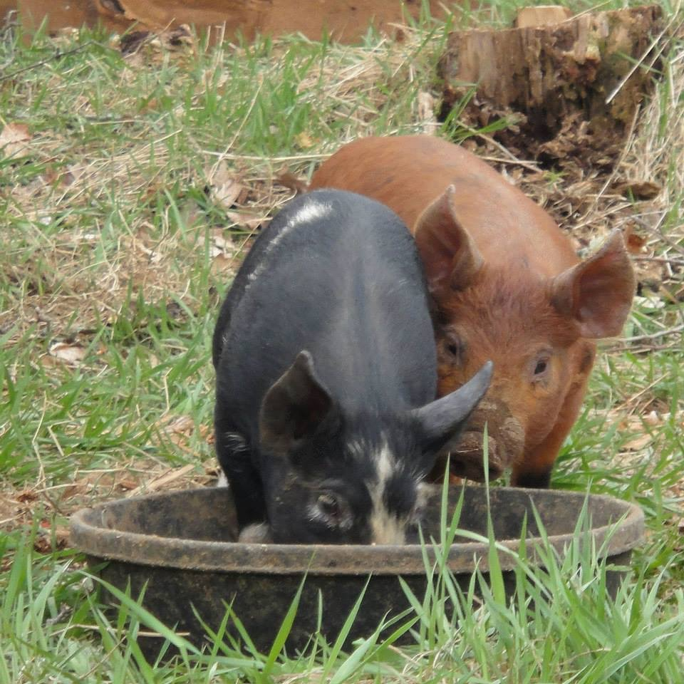 Reconciling Pigs and Fall